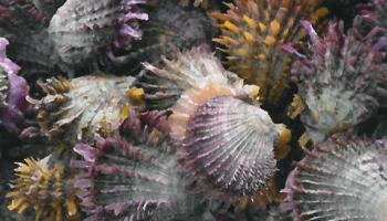 Investigaciones en Spondylus de Cenaim, tema de portada de revista científica internacional